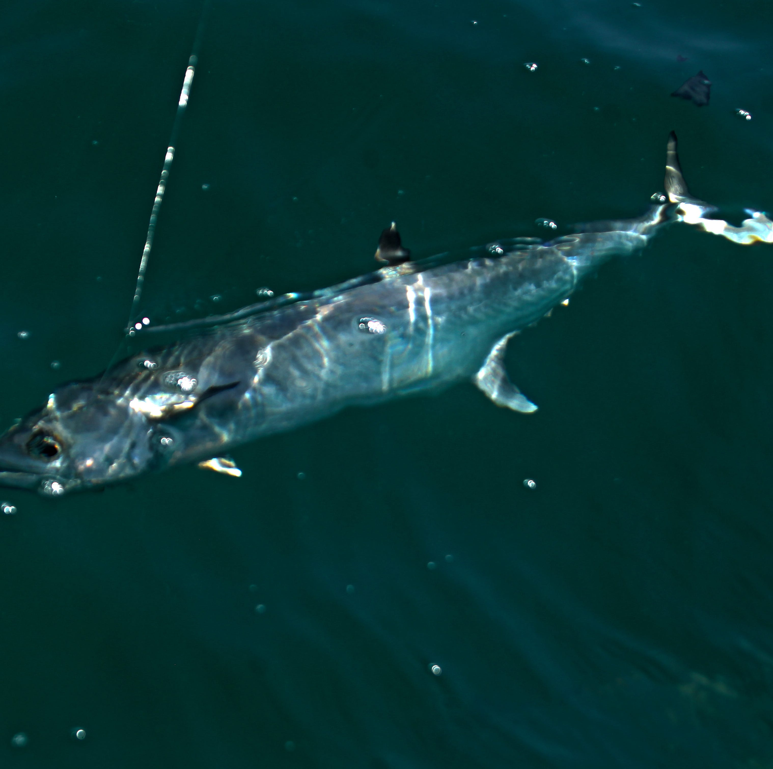 Texas tarpon among the predators below Corpus Christi's calm waves
