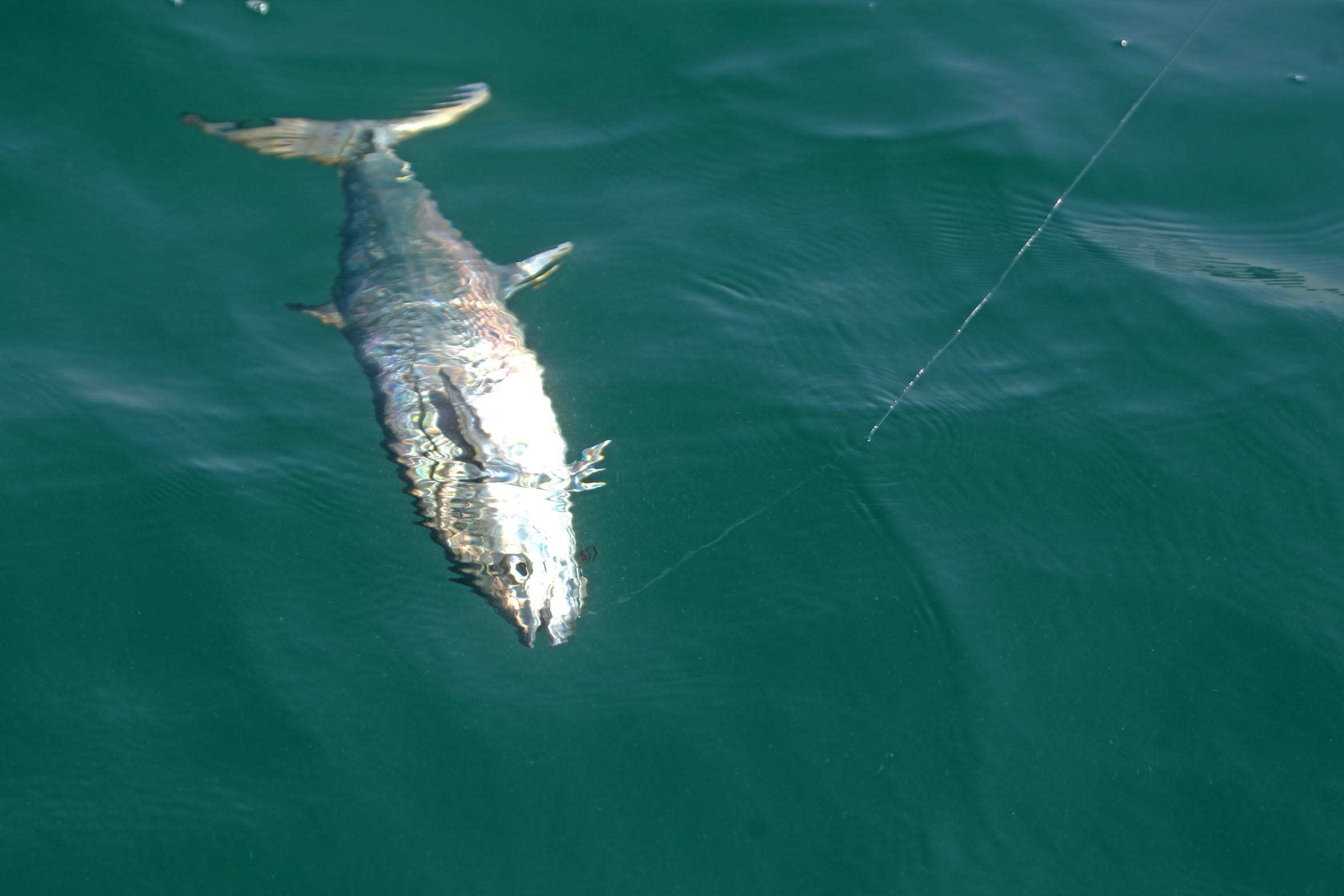 Kingfish have been within a mile of the beaches during calm mornings.