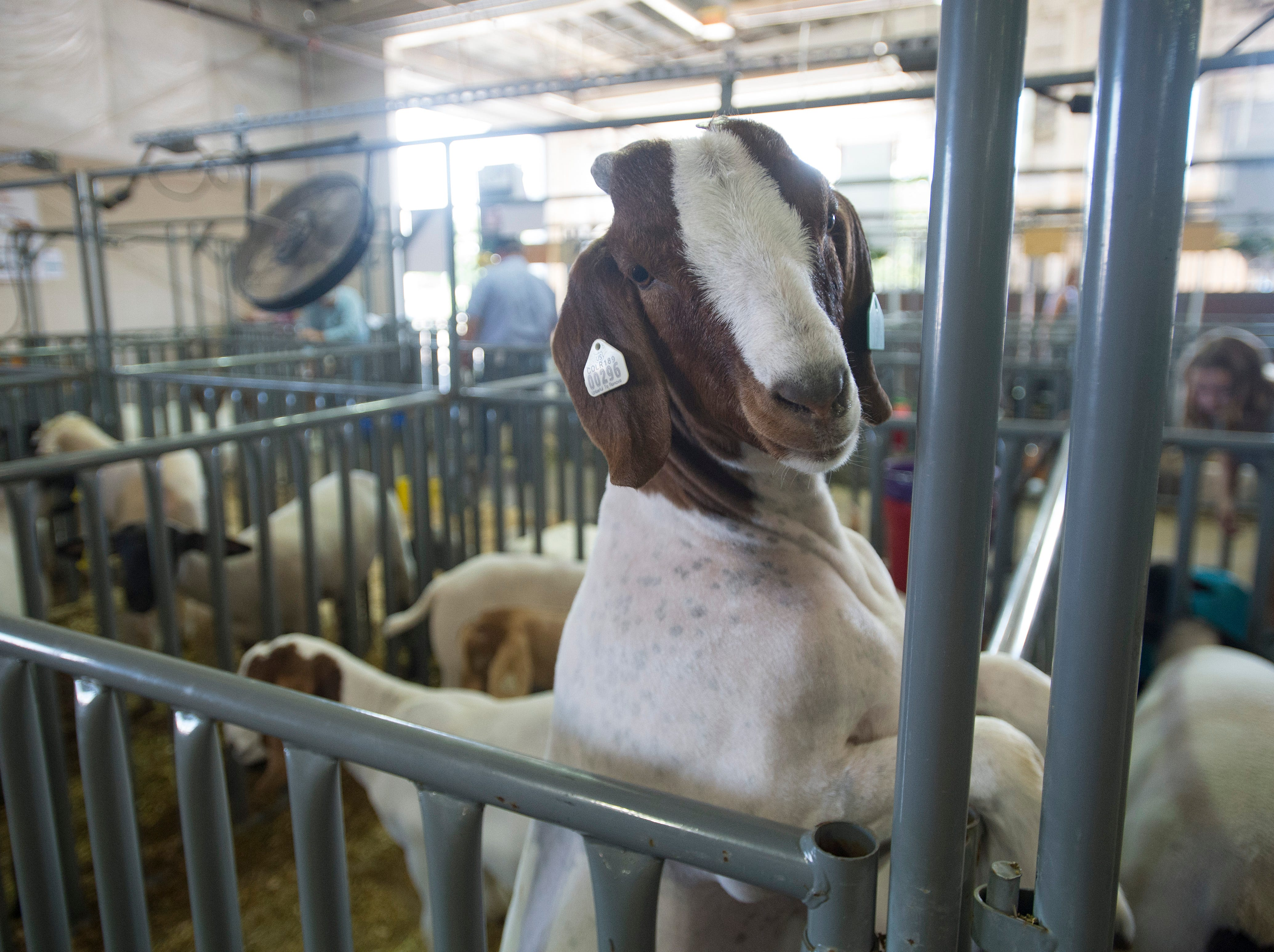 A goat climbs up for a view outside its pen at the Larimer County Fair Youth Livestock Sale at The Ranch in Loveland on Wednesday, August 8, 2018.
