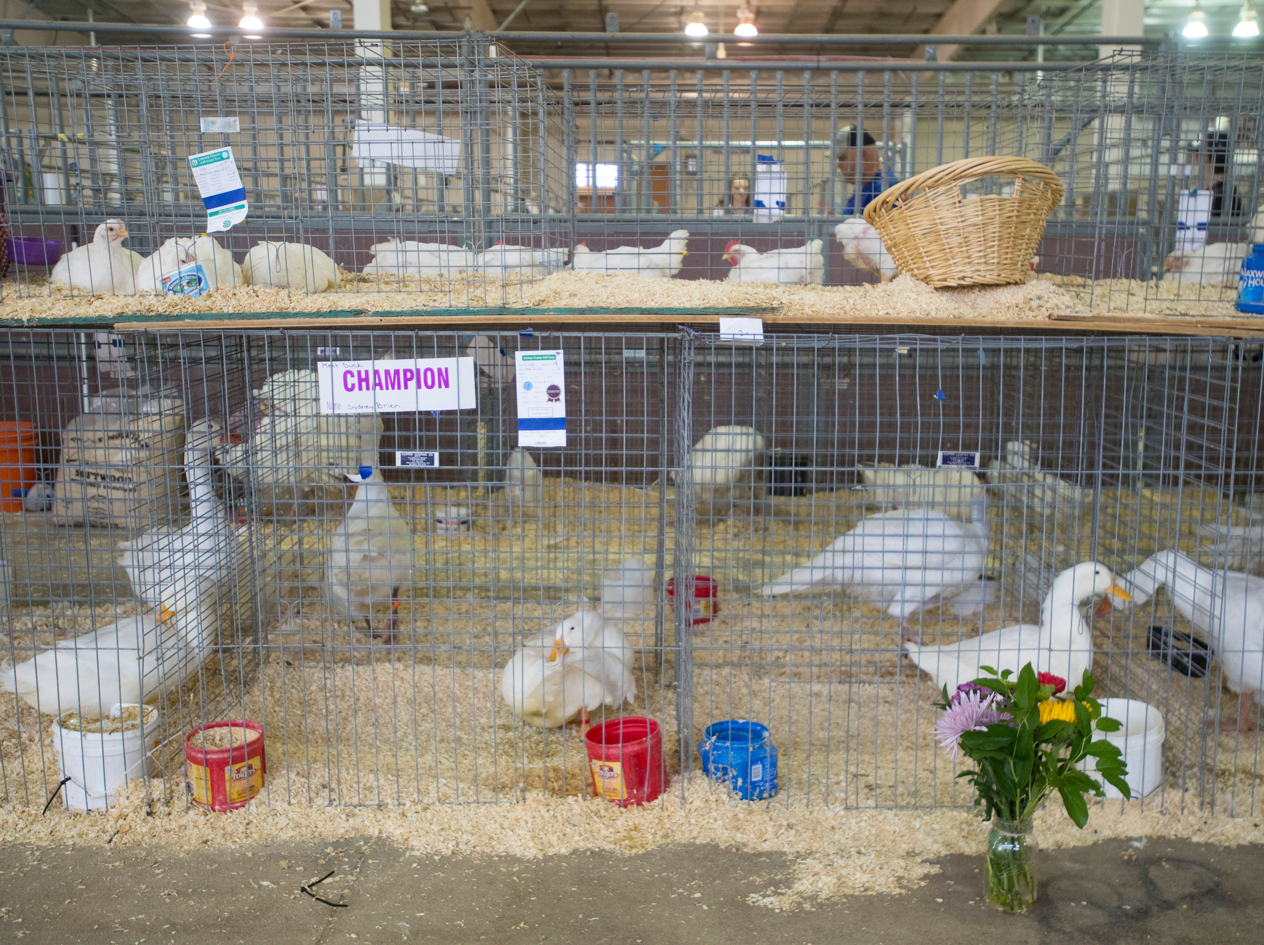 Winning poultry awaits transport at the Larimer County Fair Youth Livestock Sale at The Ranch in Loveland on Wednesday, August 8, 2018.