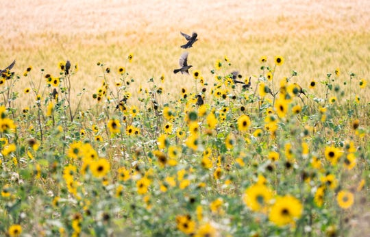 "Birds flit through sunflowers near Lustre in Montana's ""middle of nowhere."""