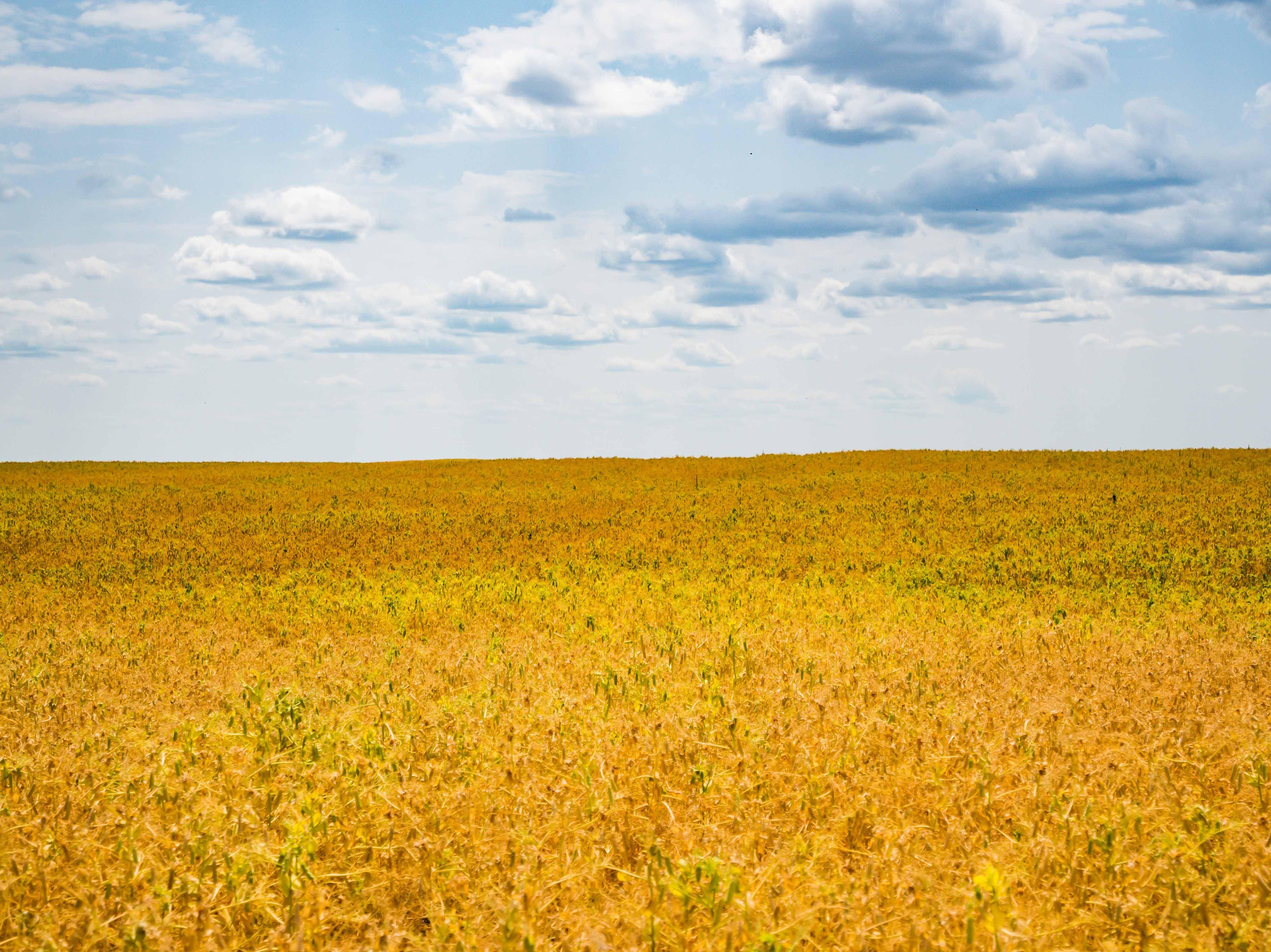 Peas ripen in a field near Larslan in northeastern Montana.