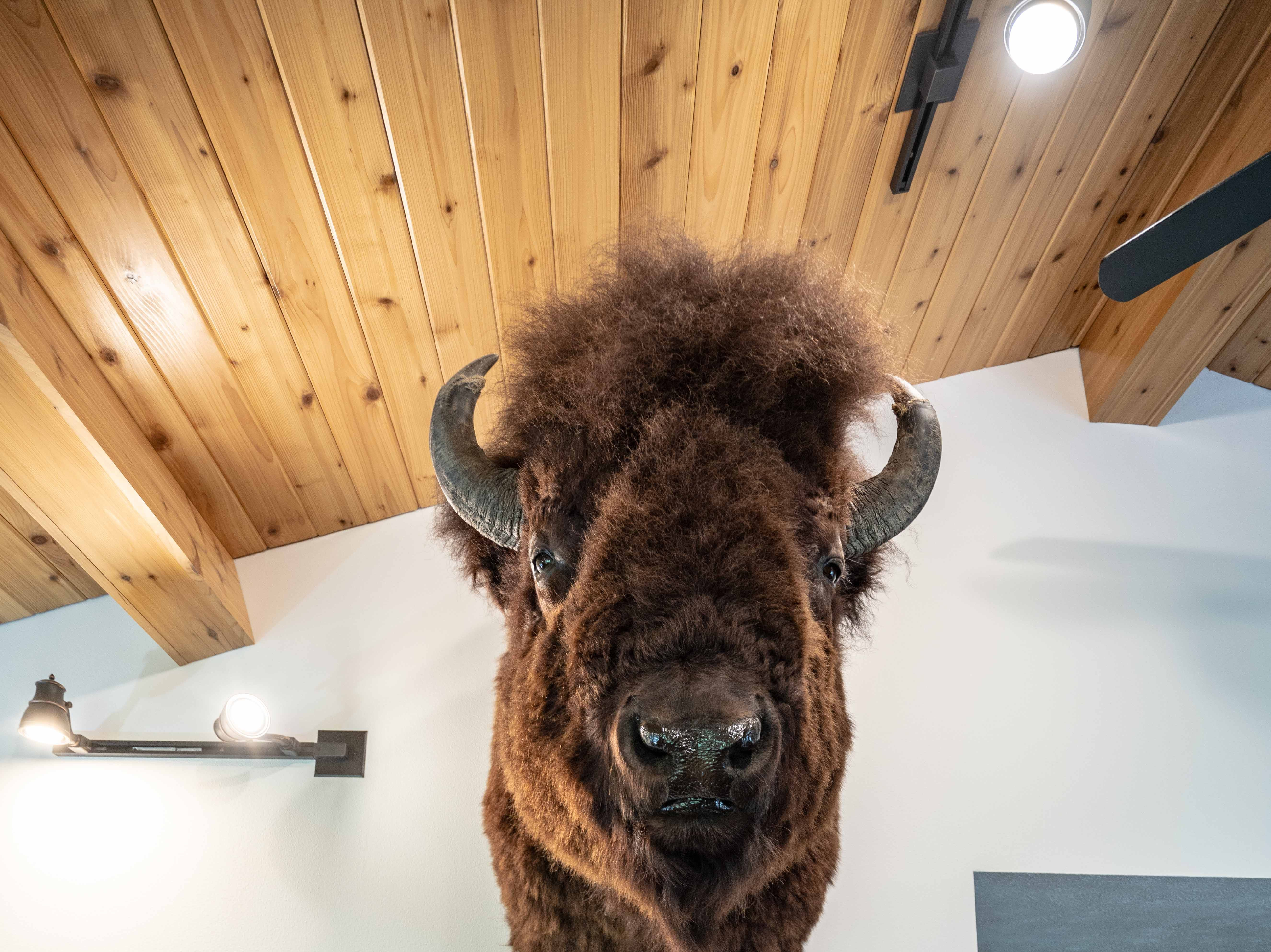 A mounted bison head is in the living room of Dean and Julie Reddig, who used to raise the animals on their farm/ranch near Lustre on the Fort Peck Indian Reservation.