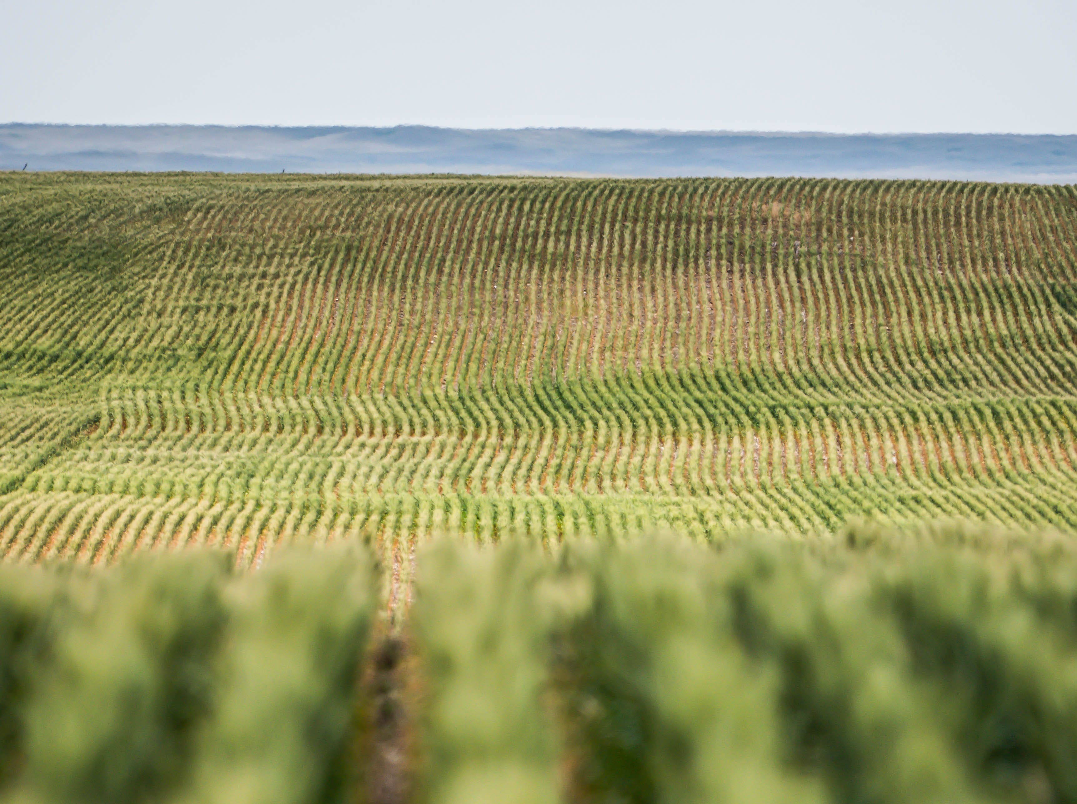 Grain ripens in the late-July sunshine near Lustre.