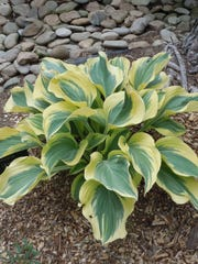 Hostas are hardy perennials that are reliable, easy to grow, and long-lived.