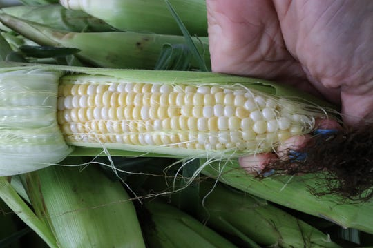Two signs of a good ear of corn - full rows of evenly spaced kernels. Swan Farm at W239 N4050 Swan Road in Pewaukee offers fresh corn picked daily and sold by the honor system from a table on a front yard turnaround driveway.