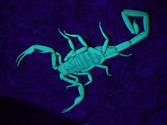 Los escorpiones brillan con un color verde azulado bajo la luz ultravioleta.
