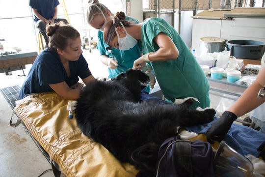 Dr. Jamie Peyton and UC Davis and CDFW staff work to treat the bear Monday.