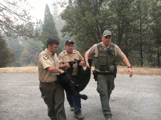 California Department of Fish and Wildlife wardens and staff transport the badly burned bear to safety.