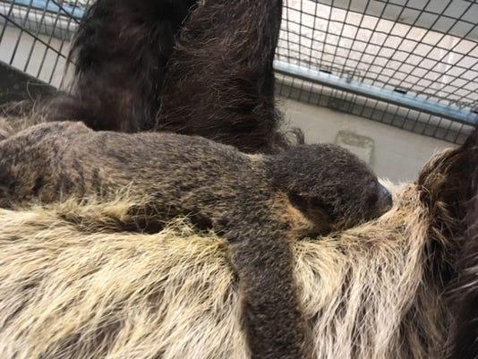 Baby Sloth On Mom