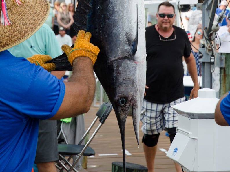 A non-qualifying white marlin on day 3 of the 45th Annual White Marlin Open in Ocean City, Md. on Wednesday, August 8, 2018