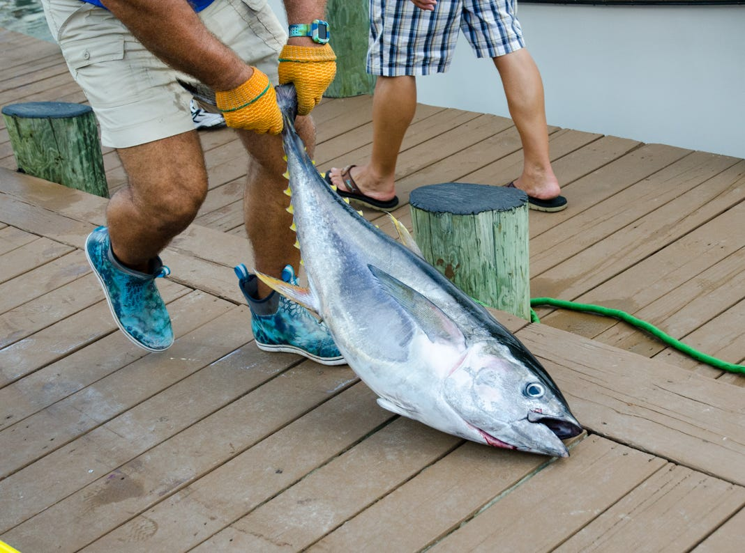 A non-qualifying tuna on day 3 of the 45th Annual White Marlin Open in Ocean City, Md. on Wednesday, August 8, 2018