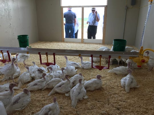 """People peek in the wide doors of the palatial air-conditioned """"presidential suite"""" for the 49 candidate birds for the National Thanksgiving Turkey at Riverside Turkey Farm outside Huron."""
