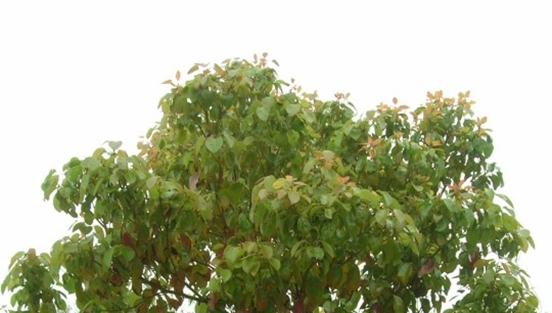 Minty camphor tree multiplies too fast