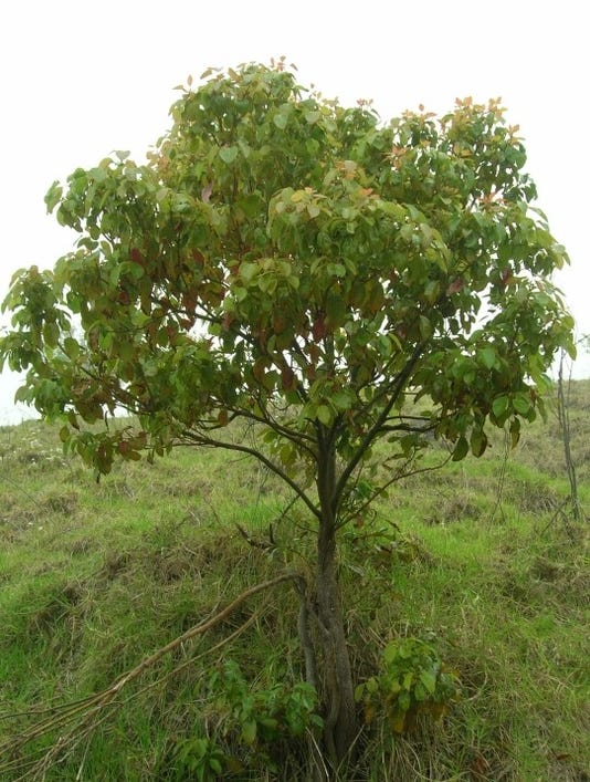 Camphor Tree Cinnamomum Camphora Forest And Kim Starr Starr Environmental Bugwood Org
