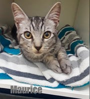 Maurice is a young cat relinquished due to owner's allergies.