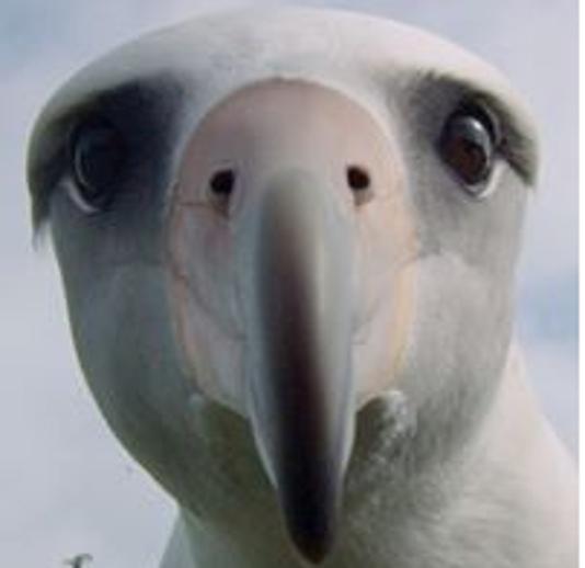 0815 Ynsl Albatross