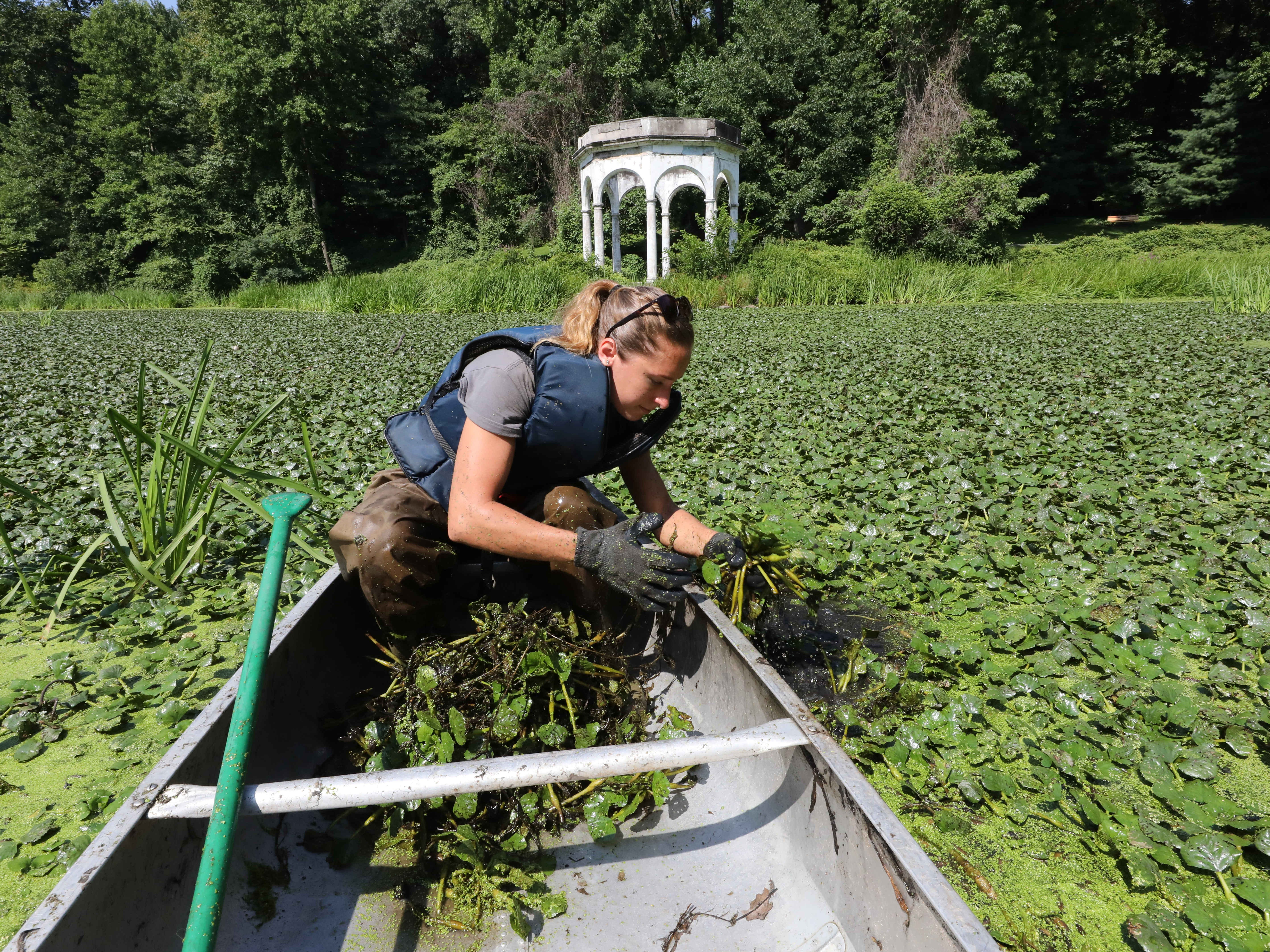 Erin Cordiner, the volunteer coordinator with The Westchester Parks Foundation, scoops up some invasive water chestnut plants into her canoe at Tibbetts Brook Park in Yonkers, Aug. 8, 2018.