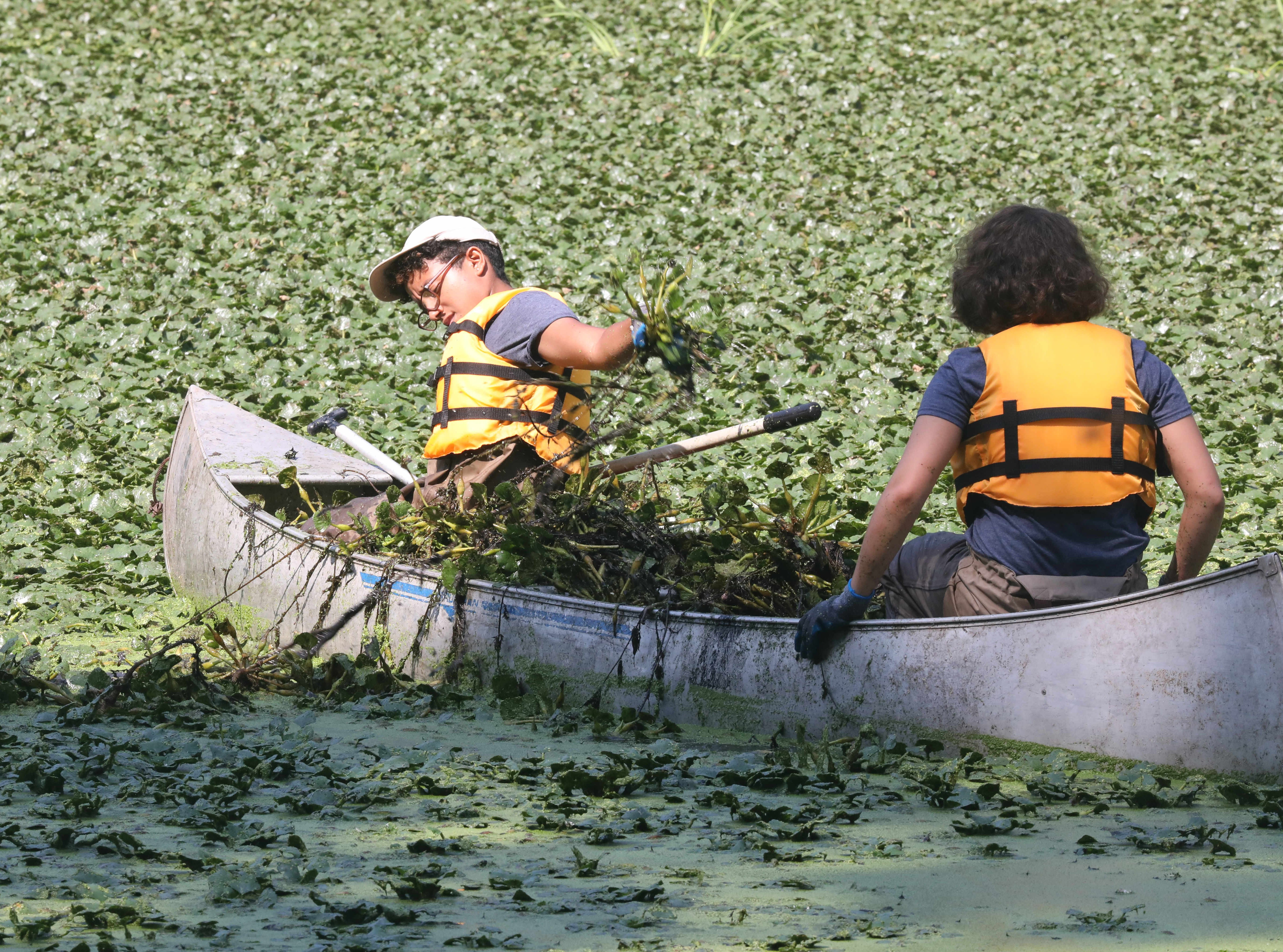 Volunteers with Friends of Van Cortlandt Park and Groundwork Hudson Valley assist The Westchester Parks Foundation, collecting some invasive water chestnut plants from the lake at Tibbetts Brook Park in Yonkers, Aug. 8, 2018.