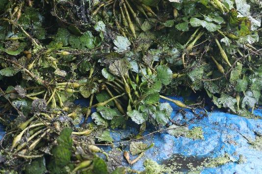 Invasive Water Chestnut