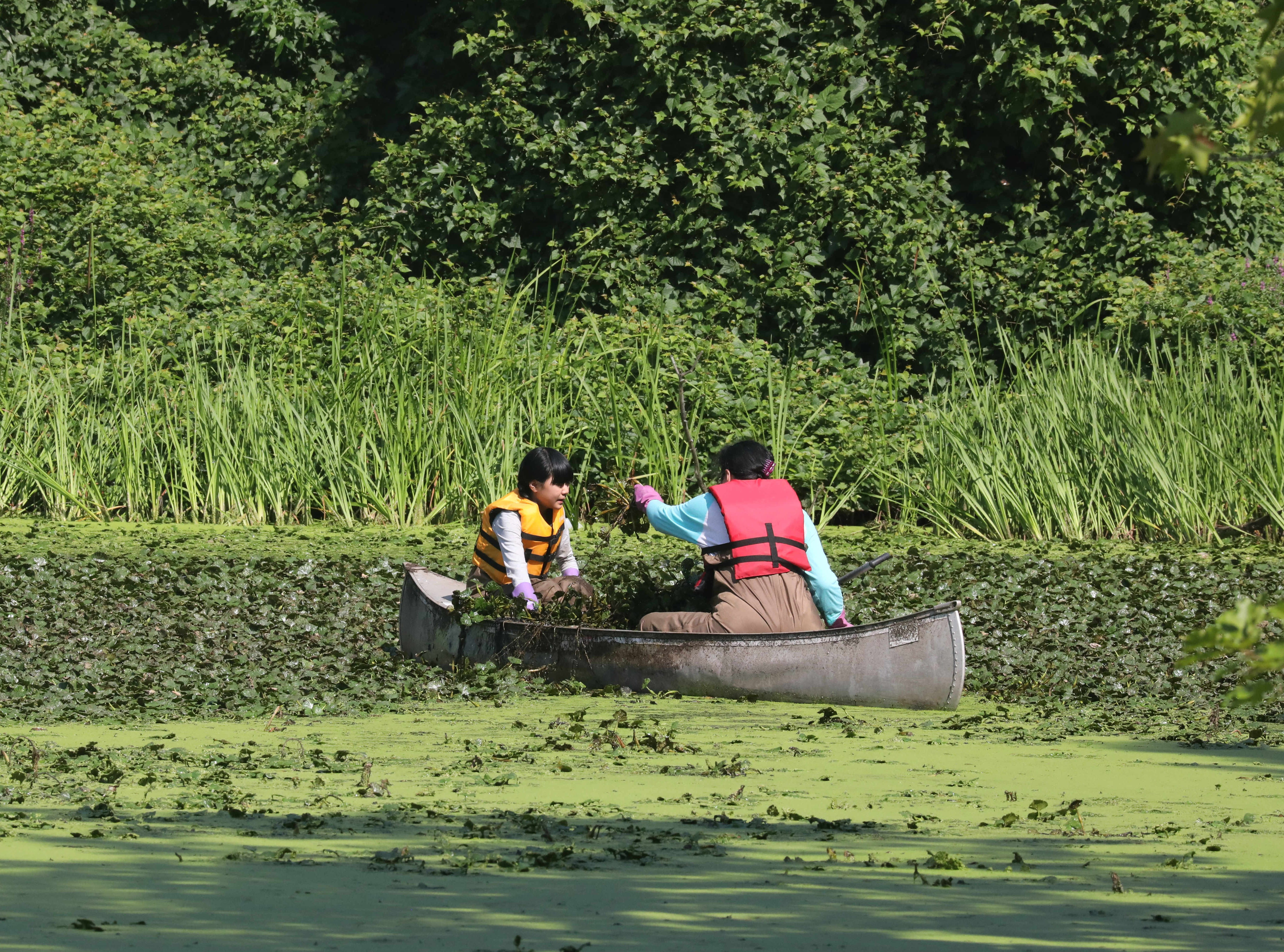 Volunteers Samantha Poy, 12 and Evelyn Poy from Sleepy Hollow assist The Westchester Parks Foundation collecting some invasive water chestnut plants from the lake at Tibbetts Brook Park in Yonkers, Aug. 8, 2018.