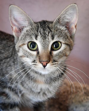 Zoot is a 3-month-old, grey tabby, female kitten. She has been vaccinated, spayed and microchipped. Zoot is cute and she would make a good only pet in a home. Zoot is available for adoption at the Humane Society of Wichita County.