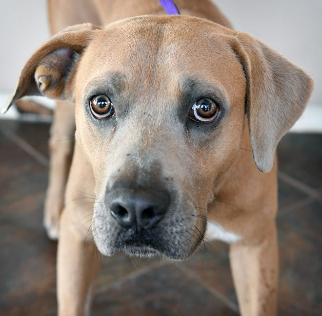 Stewart is a 3-year-old, brownish mixed breed. He is neutered, vaccinated and microchipped. Stewart is a little shy at first but very sweet and he is available for adoption at the Humane Society of Wichita County.