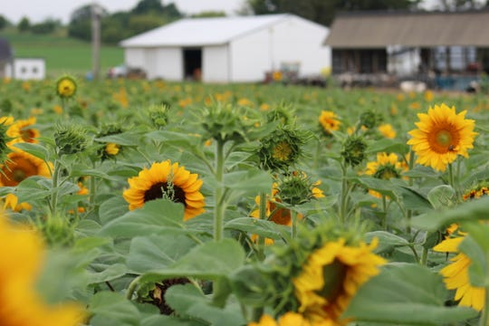 Oak Lawn Farm, a farmstead that has been in the Kelley family for over 150 years serves as the backdrop of this field of sunflowers. Flower donation proceeds will benefit Old Glory Honor Flights for veterans.