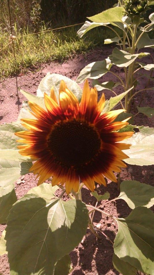 Wsf 0810 Apps Sunflower