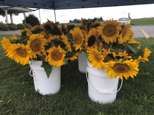 Buckets of sunflower bouquets await customers at Kelley Country Creamery south of Fond du Lac. Flower donation proceeds will benefit Old Glory Honor Flights for veterans.