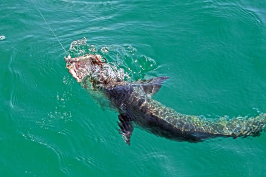Kingfish and tarpon often will strike the same lures used by anglers in a clear tide within sight of Corpus Christi-area beaches.