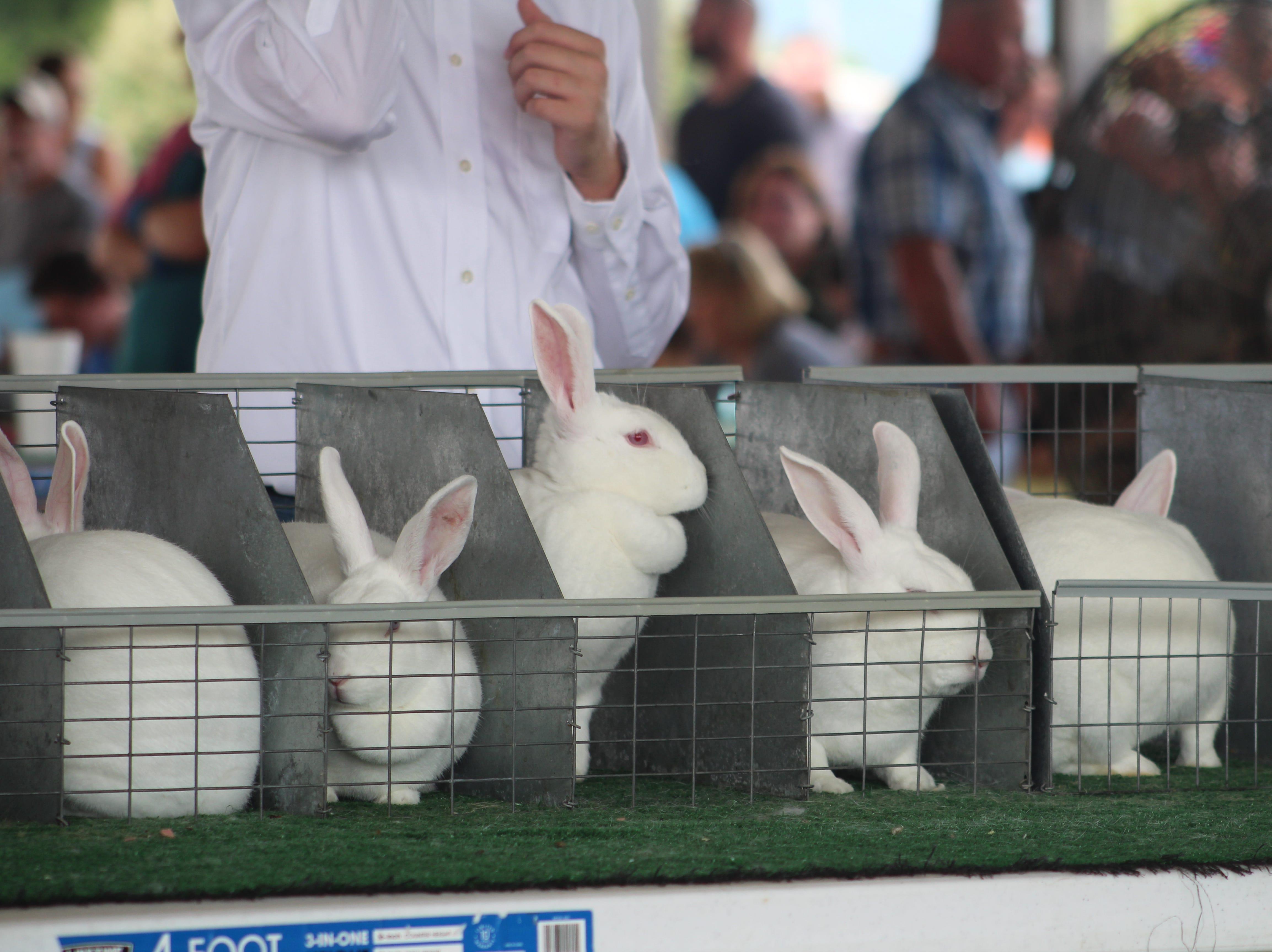 2018 Jr. Fair Guinea Pig and Rabbit  judging.
