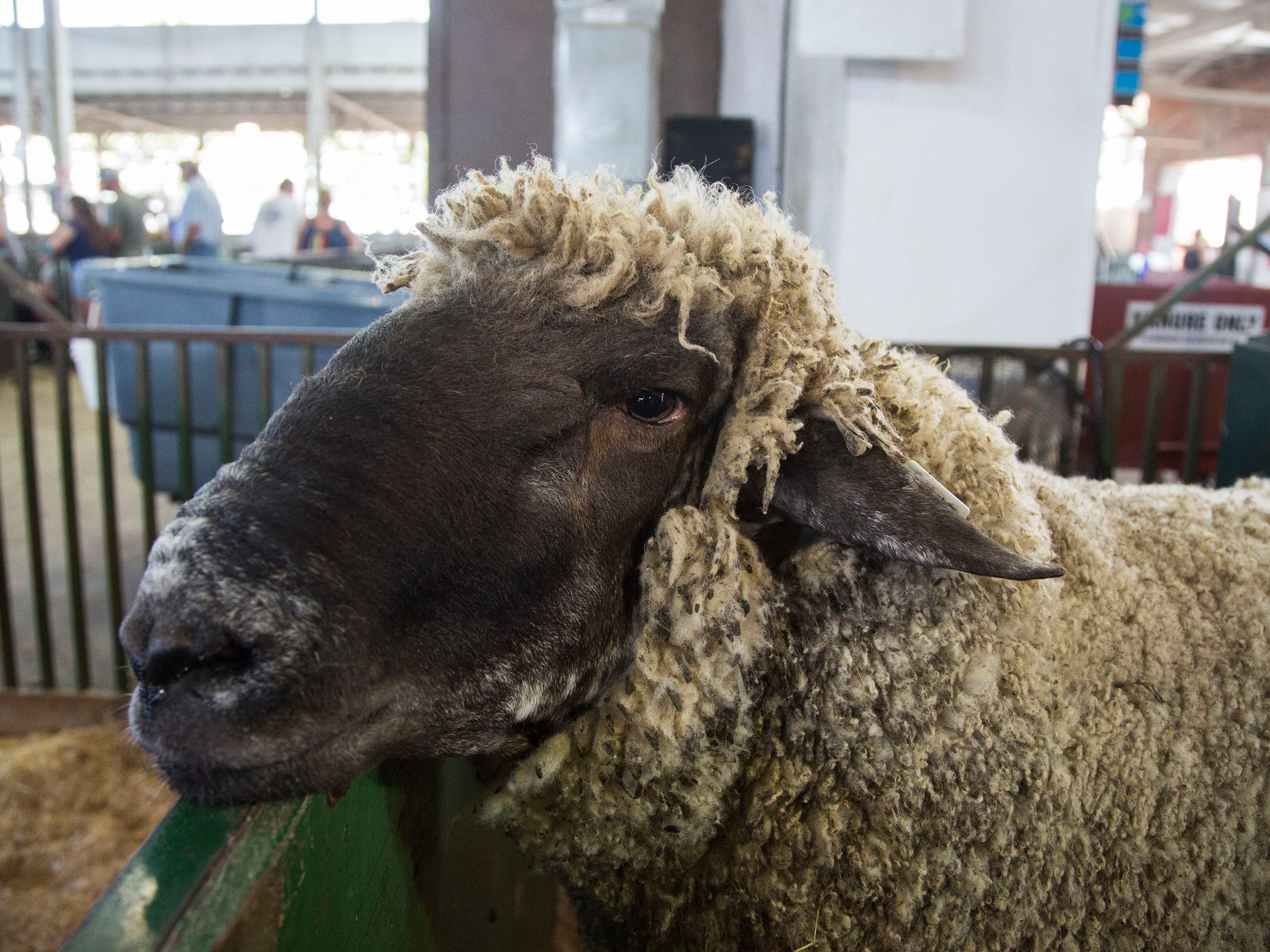 Doc, a two year old ram from Webster City, won first place in the Iowa State Fair biggest ram competition on Thursday, Aug. 9, 2018, in Des Moines. Doc weighed 457lbs, making him the second largest ram in fair history.