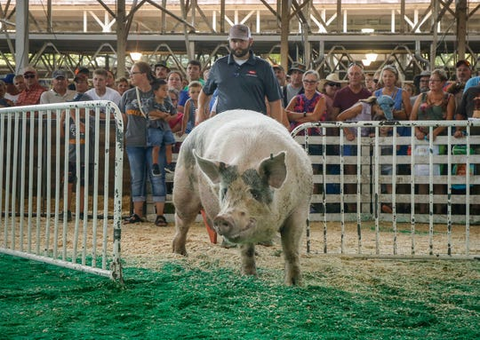 Itty Bitty, a 1,163-pound boar from Manchester, enters the ring before being crowned 2018 Big Boar during the Iowa State Fair in Des Moines.