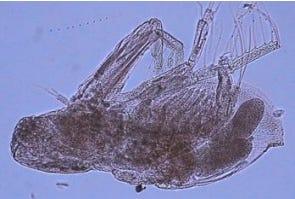 Cladoceran Diaphanosoma fluviatile.