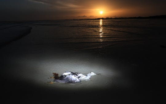 A dead wading bird lies in the surf on Bunche Beach on Wednesday 8/8/2018. A read tide outbreak is killing a large number of fish, turtles and marine life. Wading birds can be affected by eating dead fish that have succumbed from red tide.