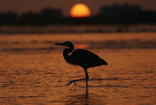 The sun sets at Bunche Beach as a Great Blue Heron saunters by on Wednesday 8/8/2018. Several dead fish and a dead heron were found nearby. Red tide is persisting in several areas throughout Southwest Florida.