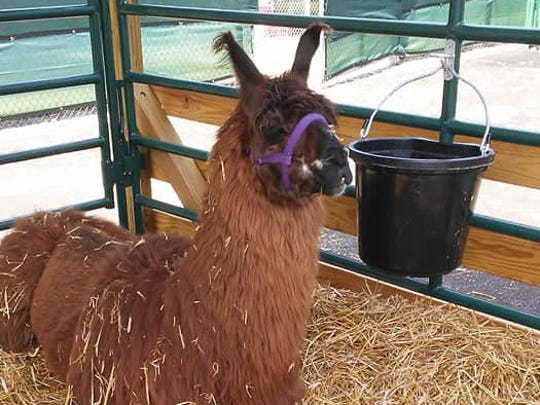 A llama takes shelter from the sun at the 2018 Indiana State Fair.