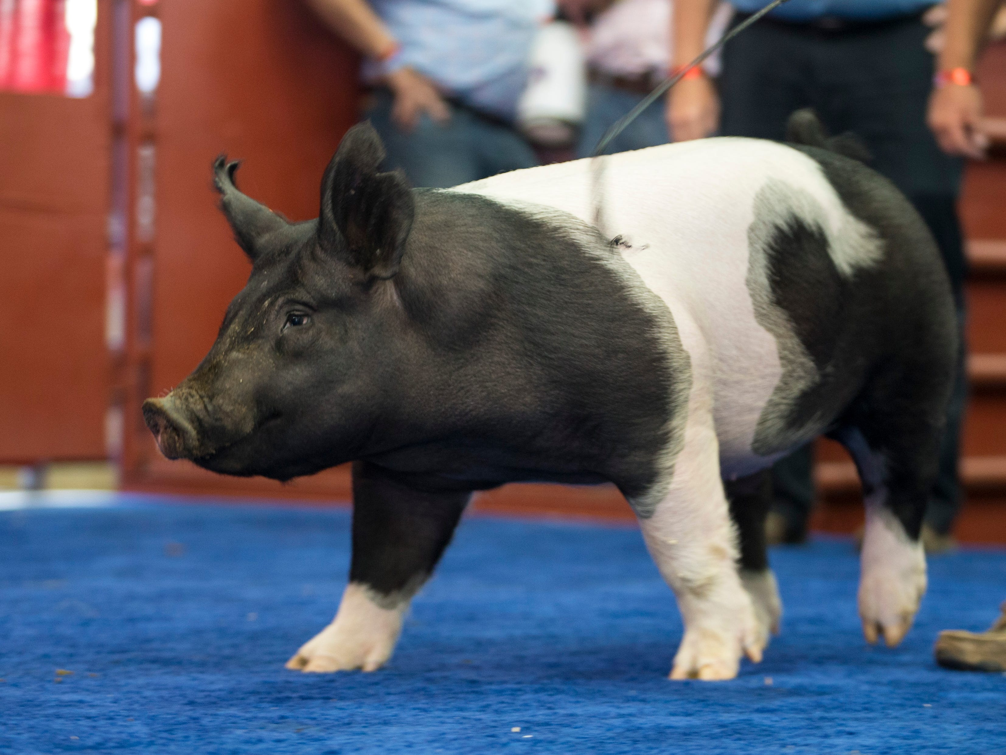Grand Champion Barrow is exhibited by Brady Wilkes of Union Grove. The Barrow is crossbred and weighs up to 252 lb. Photo by Tyger Williams / Milwaukee Journal Sentinel