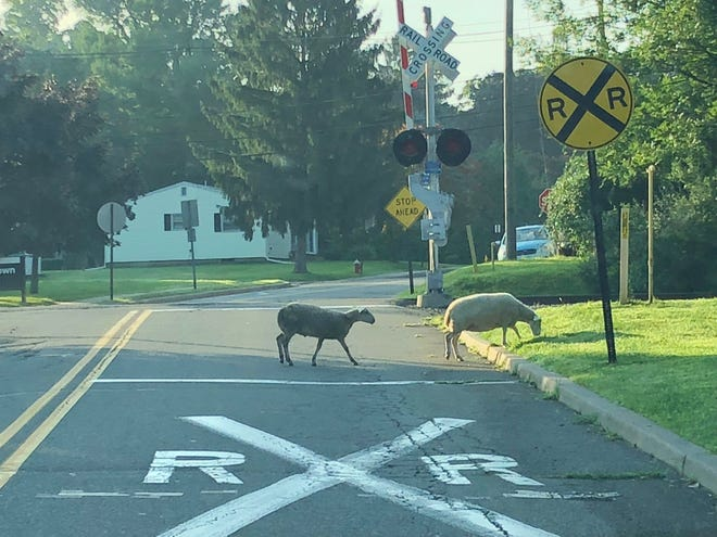 Sheep that escaped a Hackettstown livestock auction graze on a street in  Hackettstown. August 8, 2018