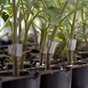 Grafted tomatoes.
