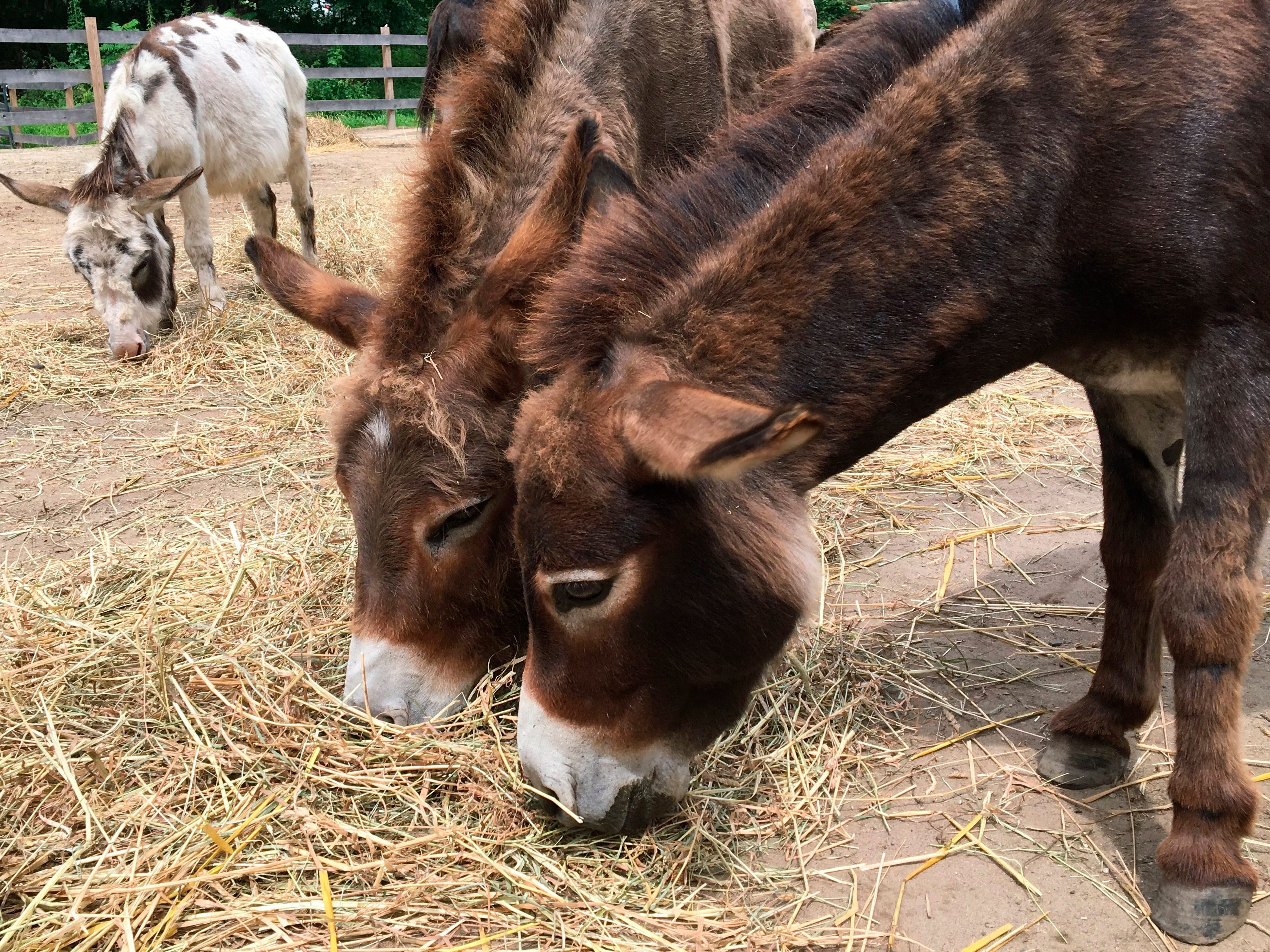 In this July 30 photo, miniature donkeys eat hay at Donkey Park in Ulster Park.