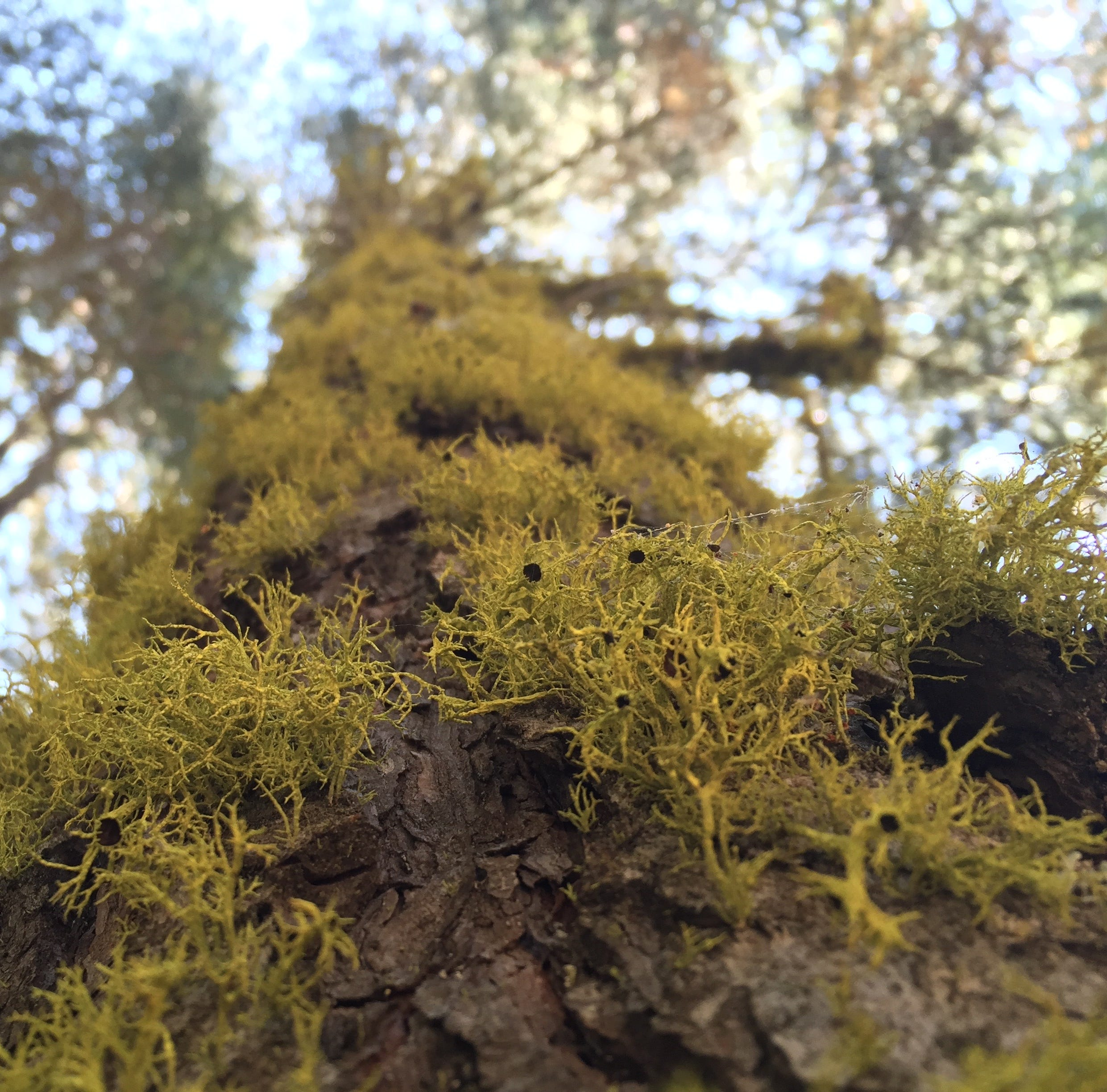 California wildfires along with climate change destroying lichen, a critical forest resource