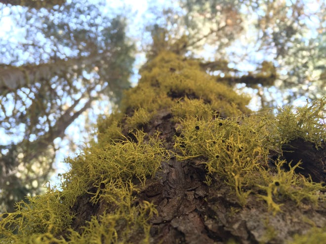 Lichen on a tree in the Sierra Nevada. Lichen, an organism that's both fungus and algae, is threatened by fires and climate change.