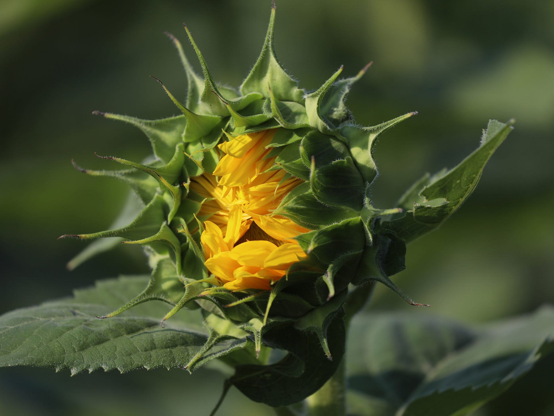 A sunflower is on the verge of opening.