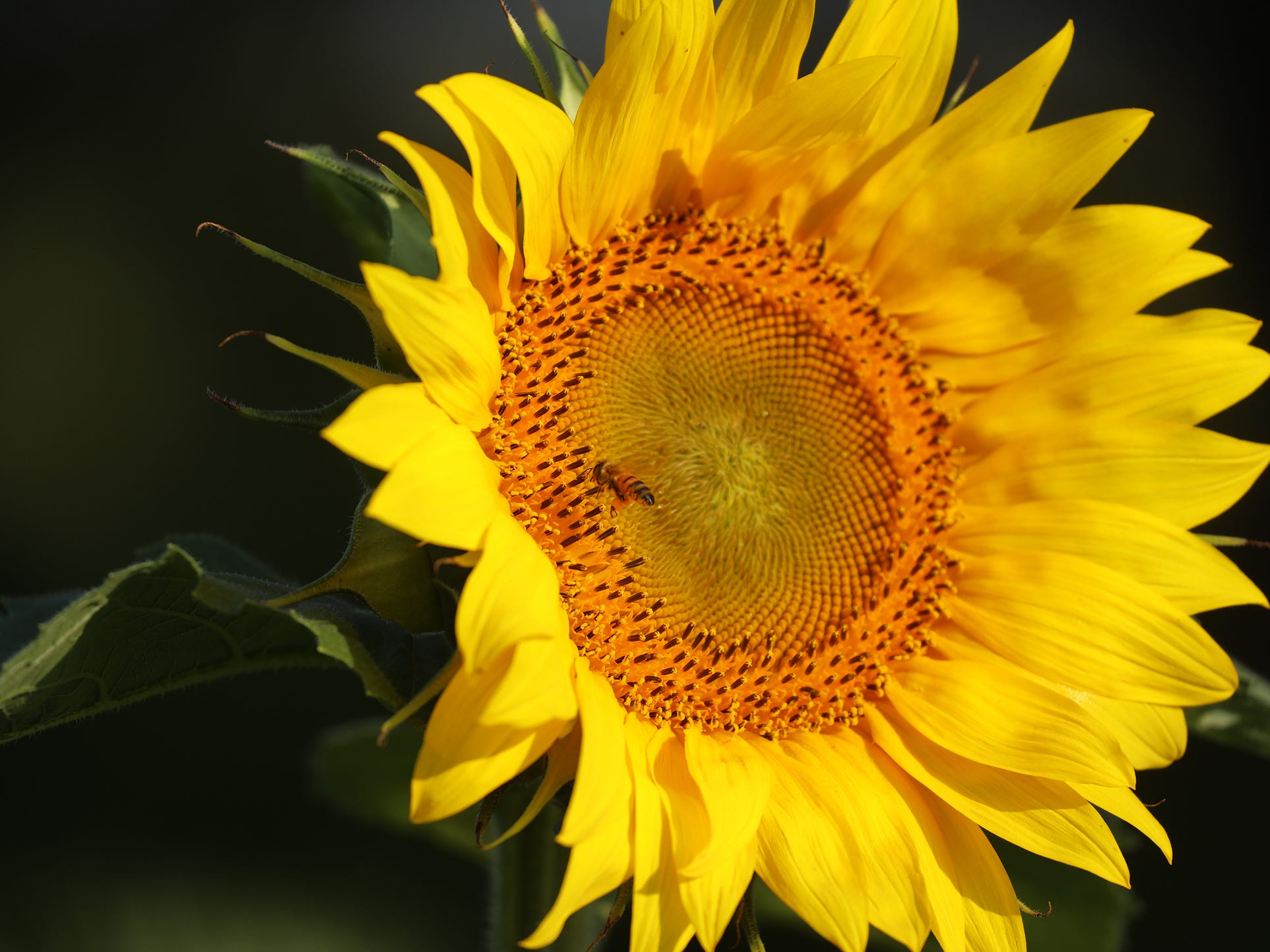 The sunflowers are in various stages of bloom.