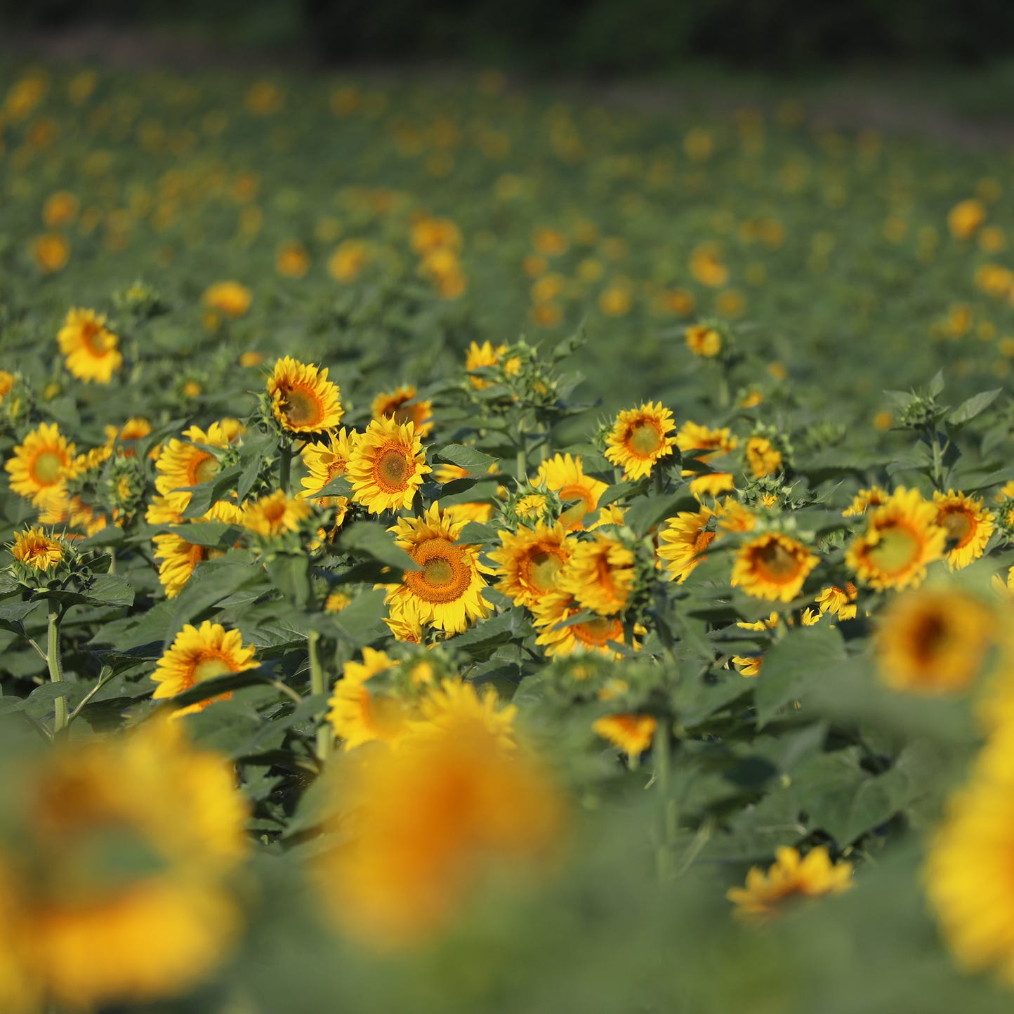 The sunflowers are out again in Pittsford: Look but don't trample