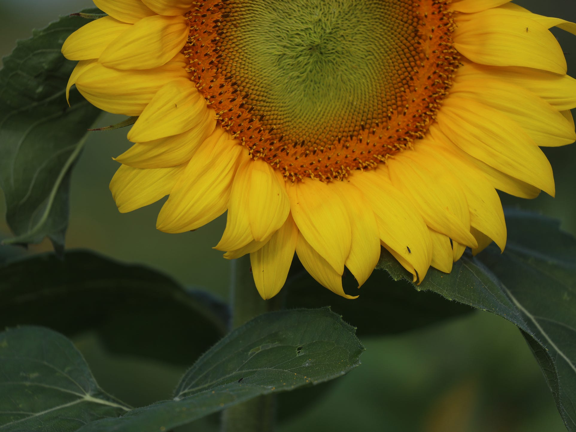 The sunflowers attract several types of insects looking for food.