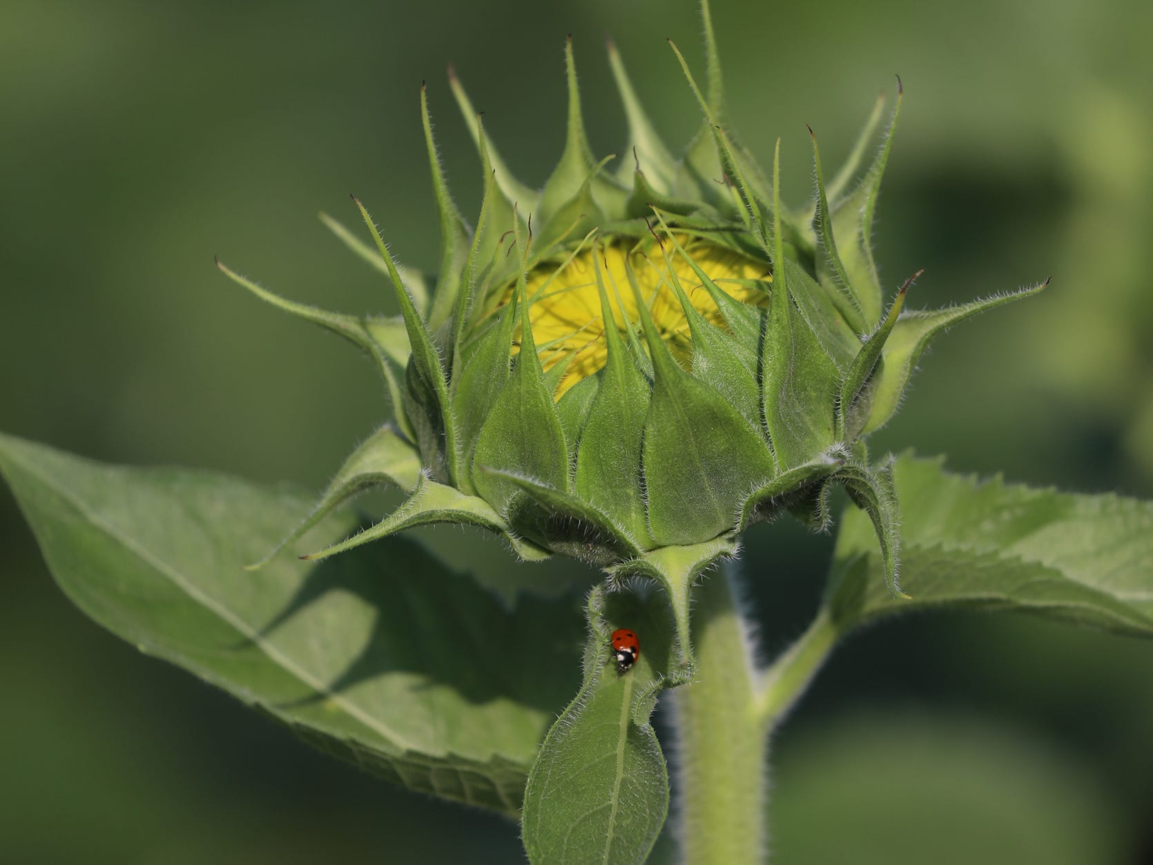 Ladybugs climb among the leaves of the sunflowers.