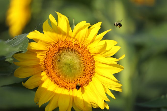 The bees fight over their spot on the flower.
